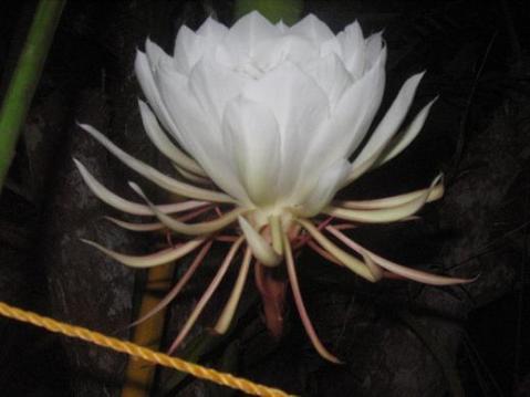 bunga-bakawali4